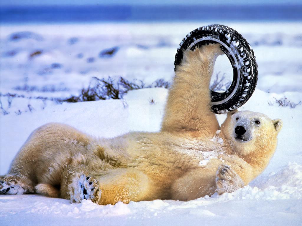 Polar bears loving this new F1